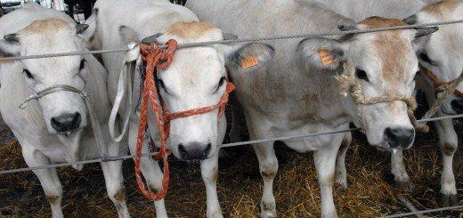Grande rassegna di bovini piemontesi di Sottorazza Albese della coscia